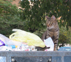 Mau Cat looking for food in trash bin.